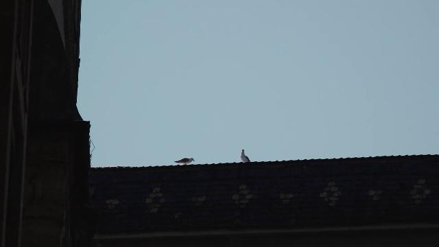 Pescărușii își fac tot mai mult simțită prezența în orașe din Transilvania. Unde cuibăresc
