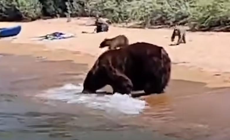 O ursoaică și puii săi s-au scăldat pe malul unui lac, printre turiști. VIDEO