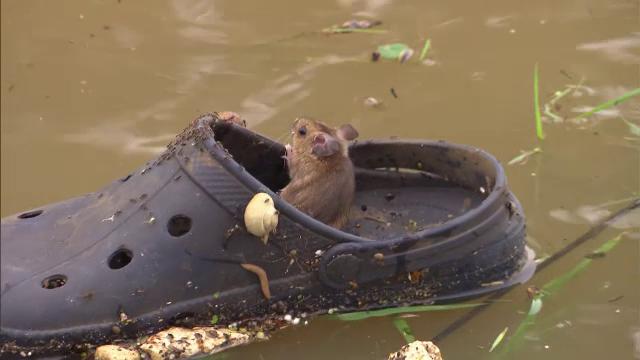 Un șoricel care plutea pe un pantof, surprins de jurnaliști în timpul inundațiilor din Olanda