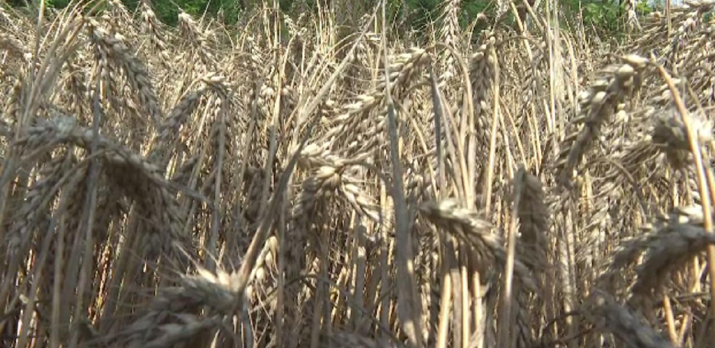 Cercetătorii români au creat grâul cu mult zinc. Deja avem mere cu efect antioxidant sporit și iaurt care ne ajută să dormim