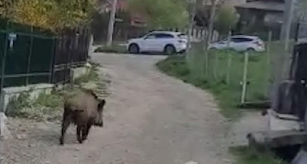 Animalele sălbatice care au apărut în Sinaia. Jandarmii au încercat să le îndepărteze cu ajutorul sirenelor