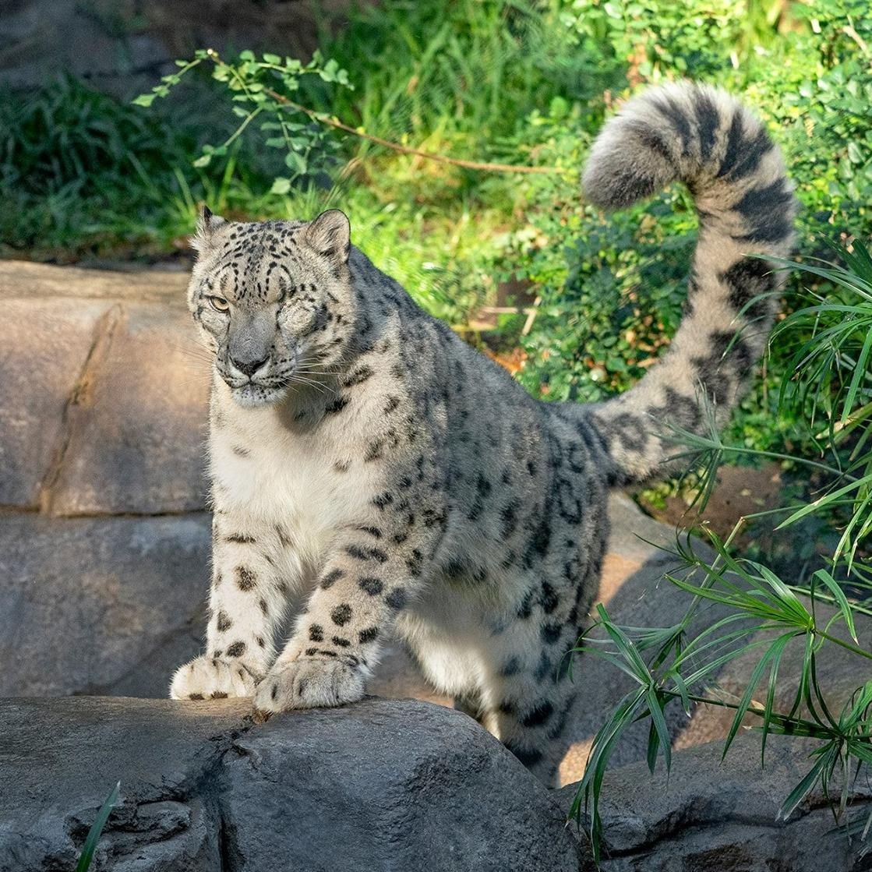 Un leopard de zăpadă a fost diagnosticat cu Covid-19
