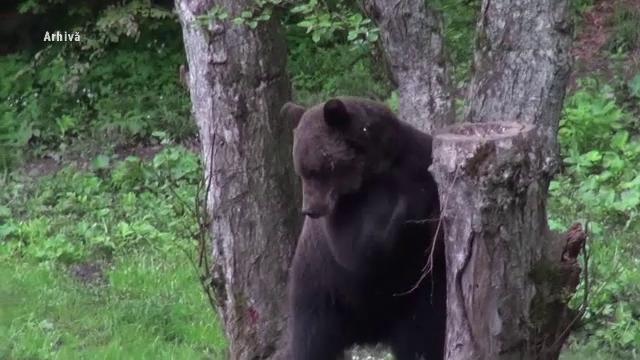 Noi atacuri ale urșilor. Sălbăticiunile au făcut un adevărat măcel la două ferme din țară