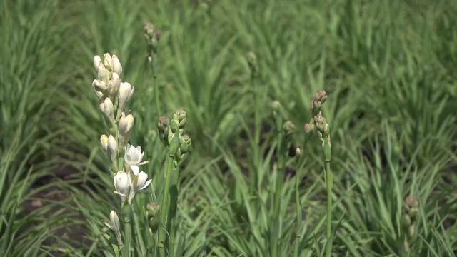 Prima floare din România protejată la nivel european: Cum s-a ajuns aici și ce se va schimba