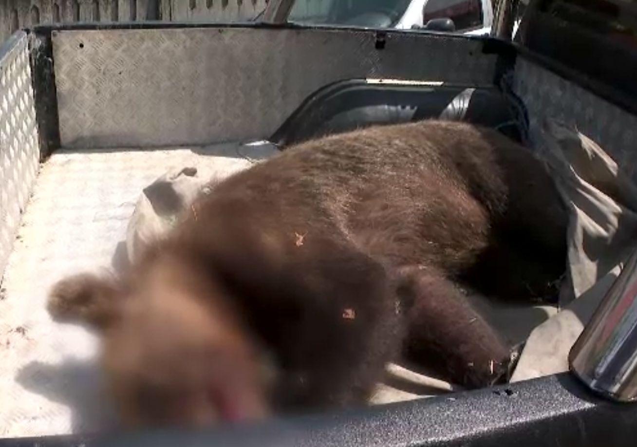 Ursoaică salvată dintr-un laț, în Gorj, și dusă departe, în munți. Polițiștii îl caută pe cel care a pus capcana