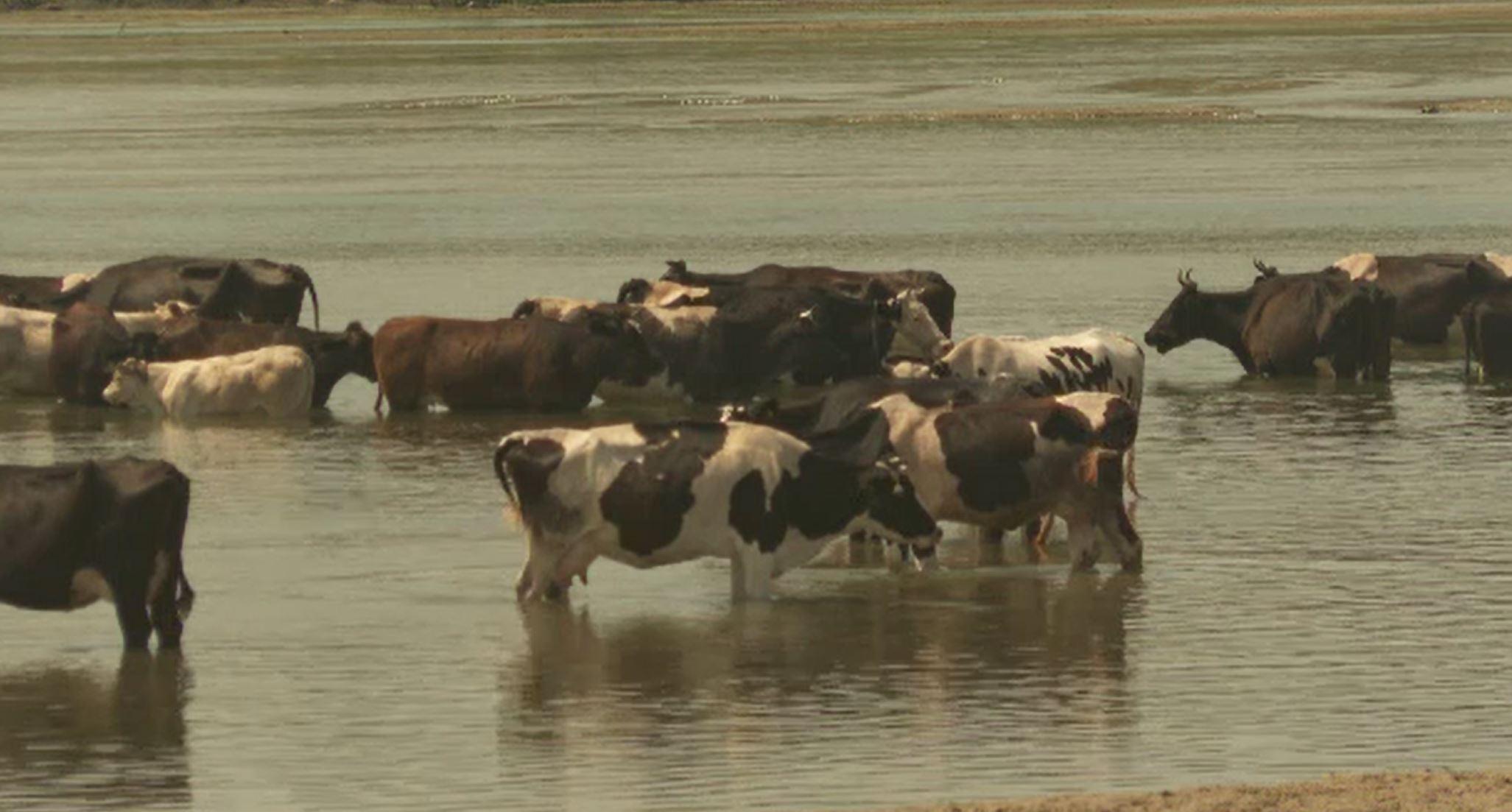 În sudul țării, temperaturile au ajuns la 59 de grade Celsius. Localnicii și-au dus animalele să se scalde în râul Jiu