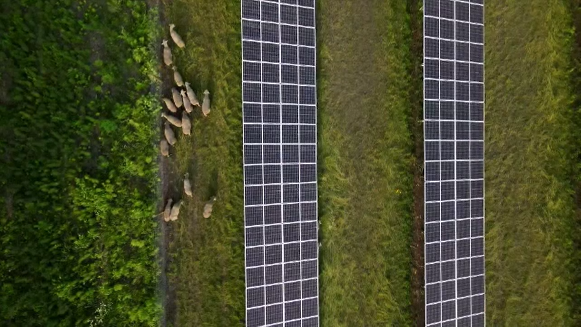 Tehnologia merge mână în mână cu oieritul. Ce legătură este între panourile solare și ovine