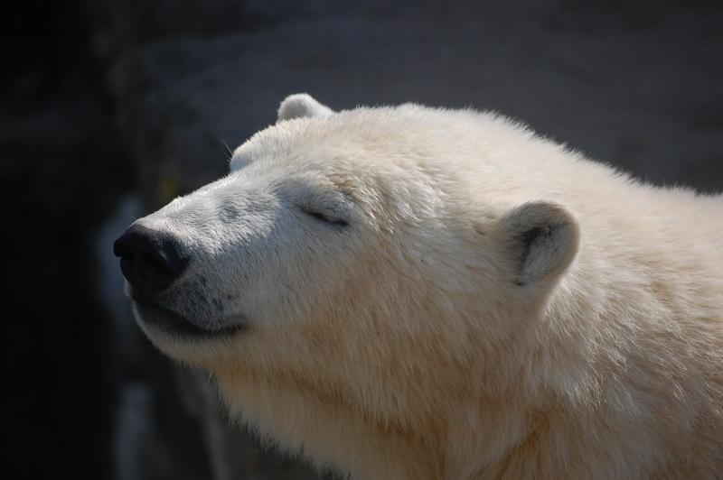 Urs polar zărit în apropierea unui submarin nuclear rusesc. Ce căuta. FOTO