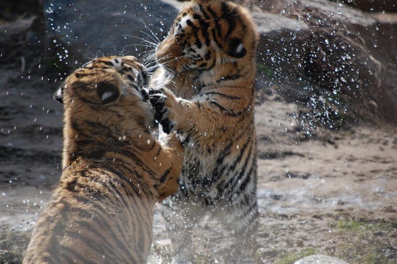 Dresura de tigri albi si siberieni la circul din Drumul Taberei