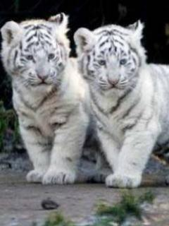Cinci pui de tigru siberian, adusi pe lume intr-o gradina zoo din China