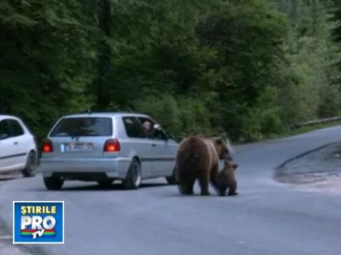 Ursii, la cersit pe marginea drumului catre cota 1400 si langa Peles