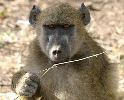 Asa ceva nu se uita! Vacanta de voluntar la crescut maimute in Africa