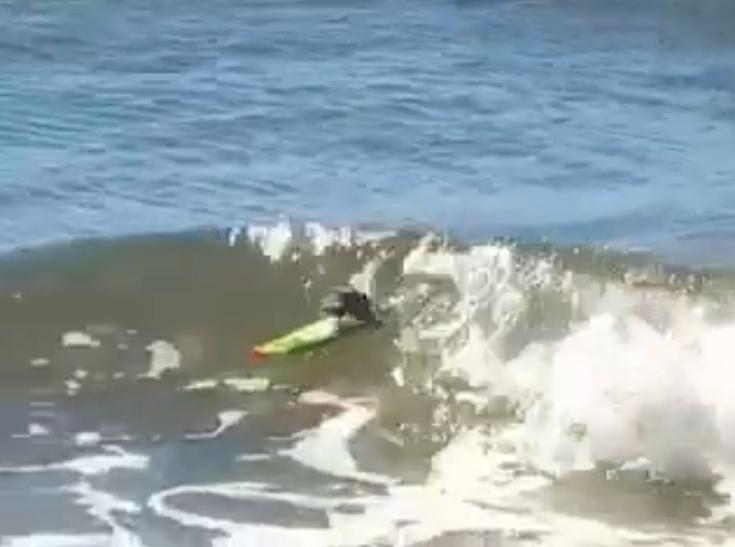 Cine a spus ca soriceii nu pot face surf? Vezi VIDEO!