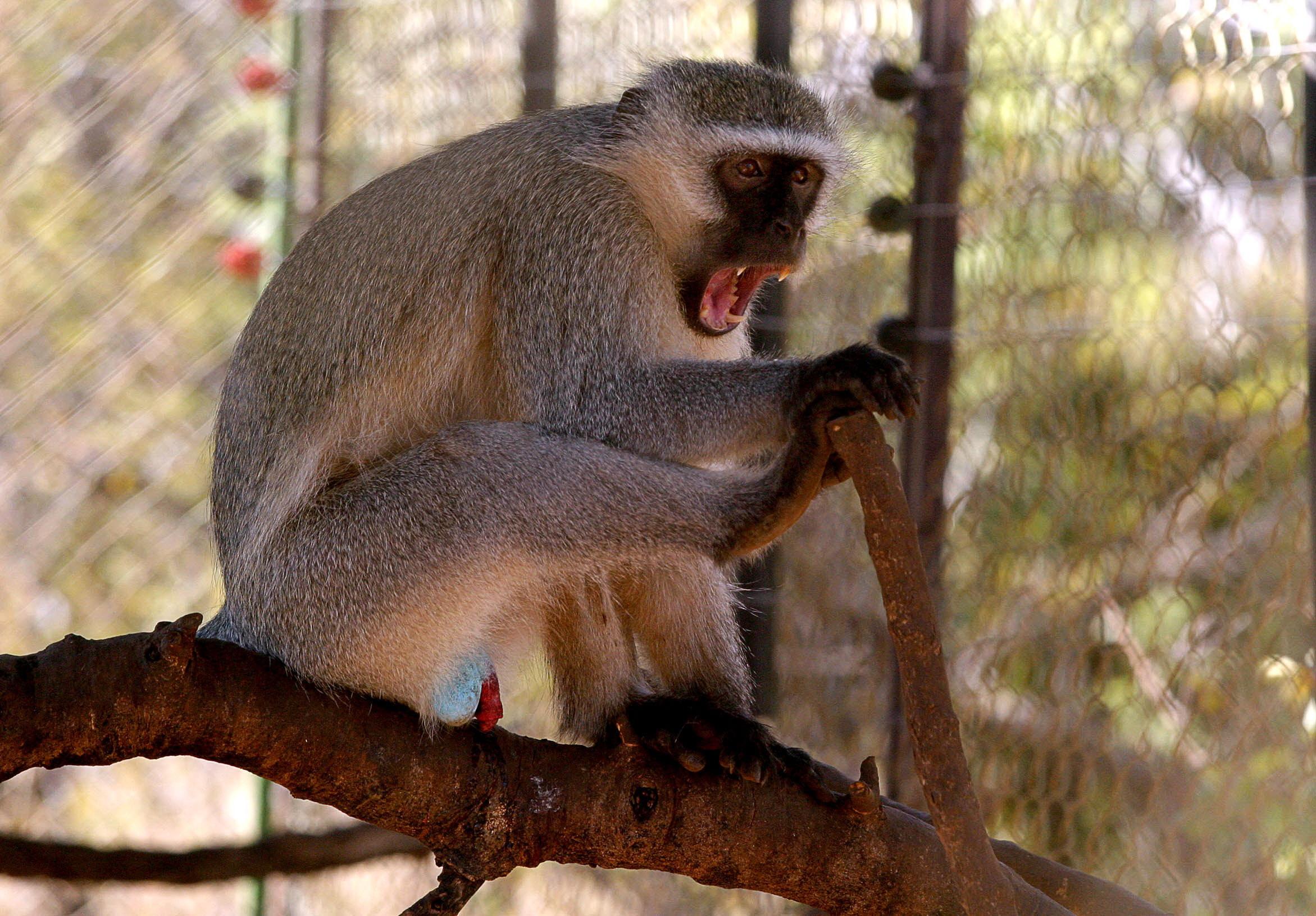 Superstitia si primitivismul: o maimuta