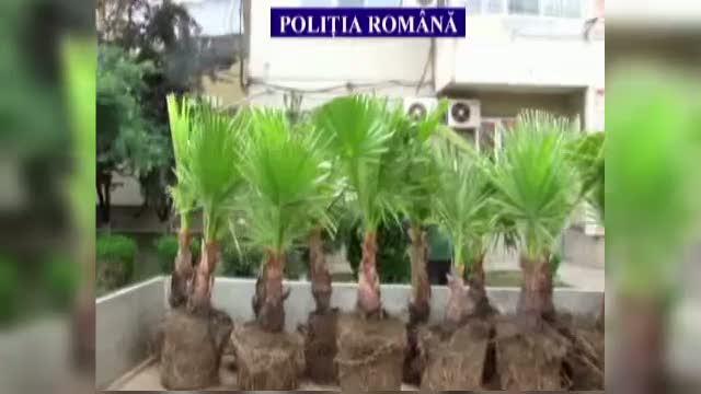 Cei 24 de palmieri din Eforie Sud, furati de un agent de paza care a vrut sa se simta ca in Hawaii