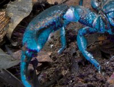 O noua specie de scorpion, descoperita in Ghana. Este albastra si ar putea sa vindece cataracta