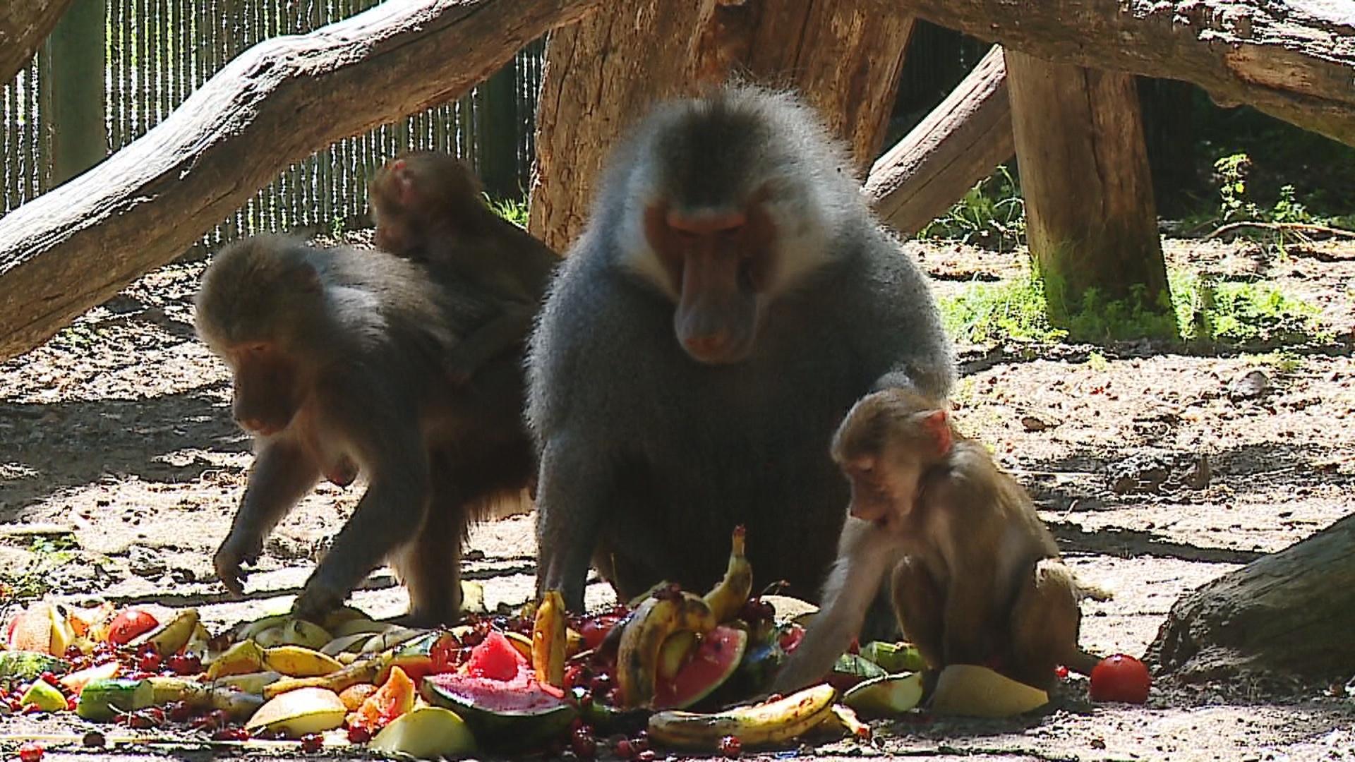 Canicula la zoo. Maimutele beneficiaza de un tratament special, bazat pe cirese si pepene