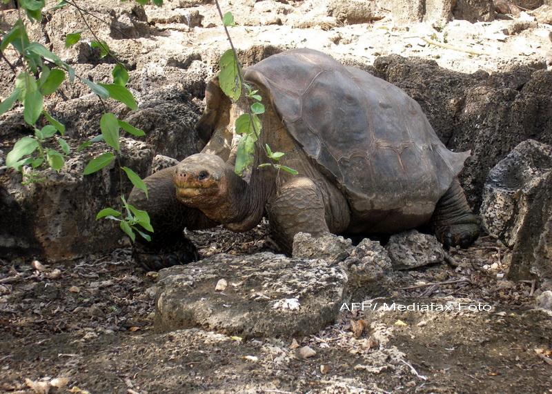 Singuraticul George, ultimul exemplar dintr-o specie de testoase uriase, a murit la 100 de ani