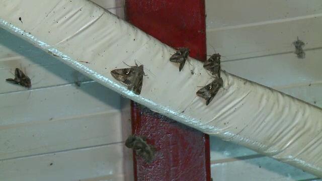 Bucurestiul, invadat de un roi de fluturi. Care este explicatia pentru acest fenomen