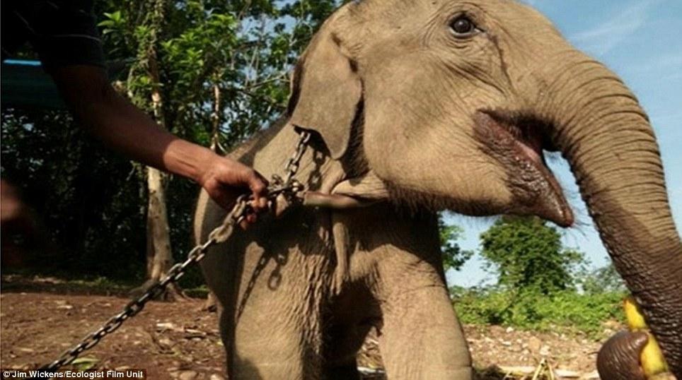 A sacrificat 10.000 de elefanti. Povestea primului traficant de fildes retinut in Africa de Vest