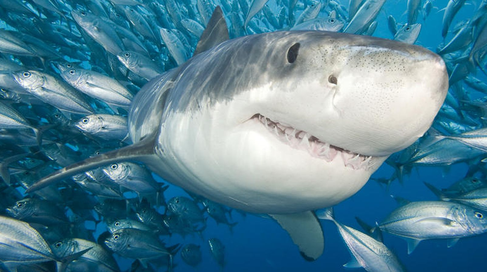 Creatura misterioasa care a devorat un rechin alb de peste 3 metri. Cercetatorii vorbesc despre