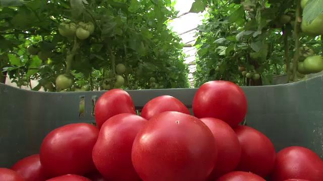 Zeci de tone de rosii cu pesticide peste limita, oprite de la comercializare