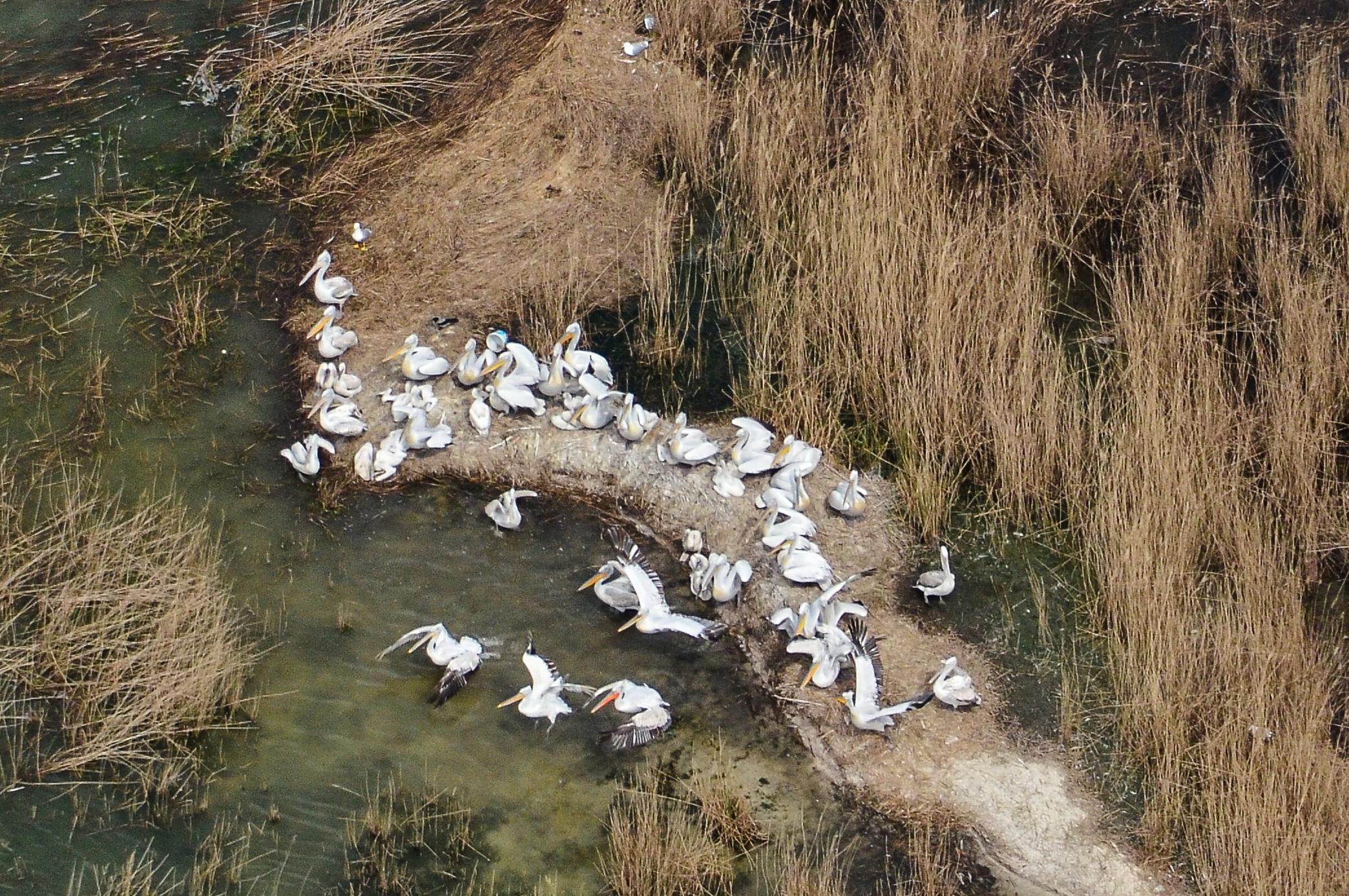 Gripa aviara a macelarit specia pelicanului cret, cea mai mare pasare care cuibareste in Romania. 108 exemplare au murit