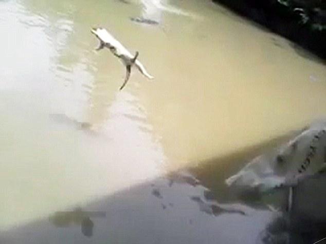 Inregistrare video socanta din Peru. O pisica este aruncata intr-un lac plin cu crocodili. VIDEO