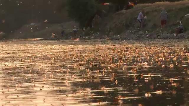 Spectacol al naturii pe raul Mures. Mii de fluturi ies in acelasi timp deasupra apei si isi traiesc cele cateva ore de viata