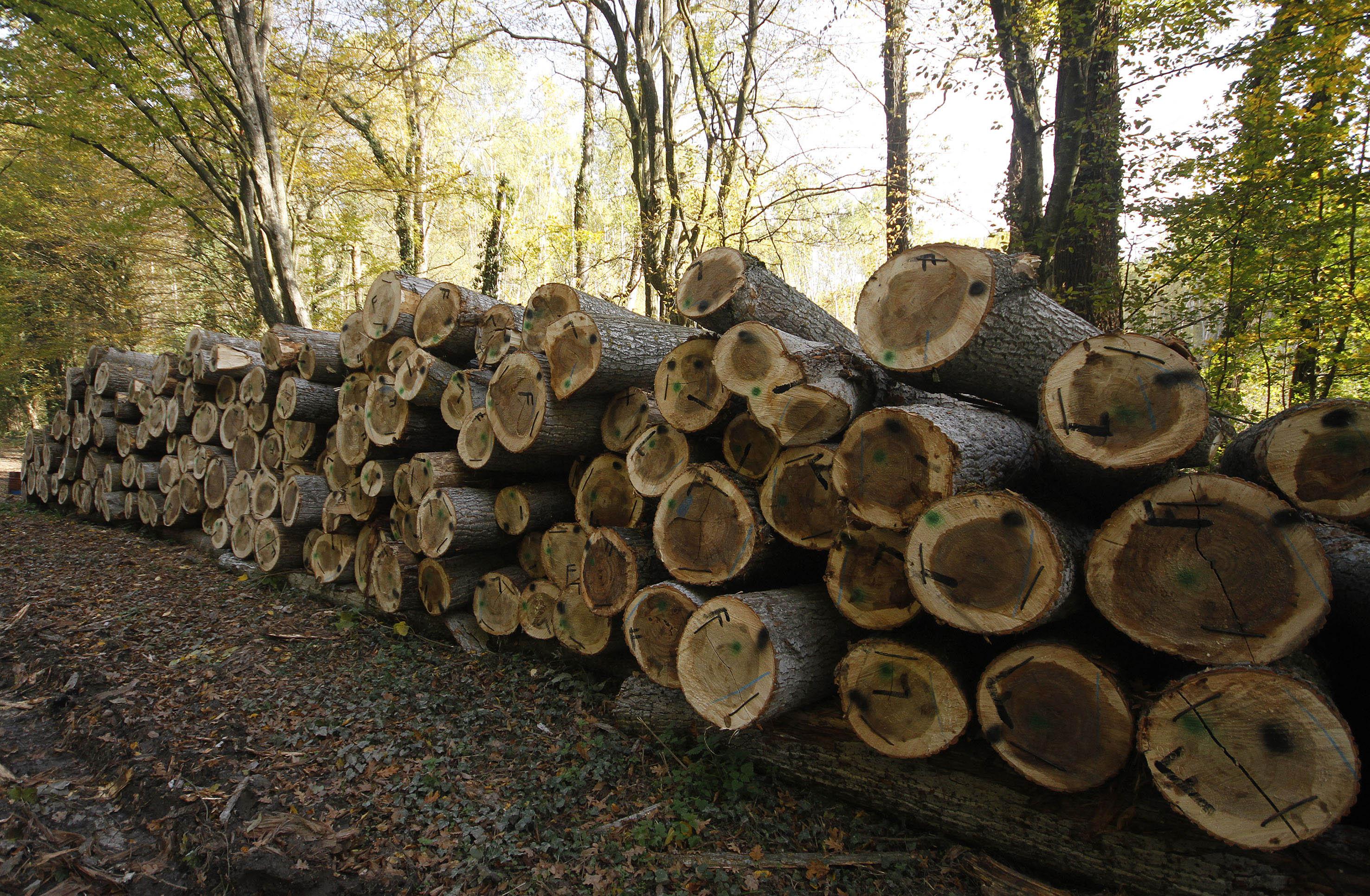 Avertismentul Greenpeace despre taierea ilegala a padurilor din Romania. Daunele sunt imense