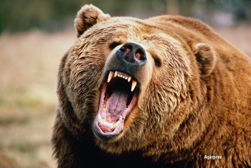 Ursul ucigas din Brasov si-a gasit sfarsitul. Vanatorii spun ca fiara avea