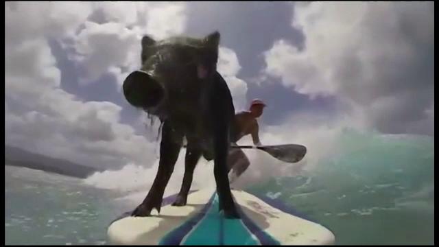 Purcelusul care a dat noroiul pe apele limpezi din Hawaii. Face surf din mosi-stramosi
