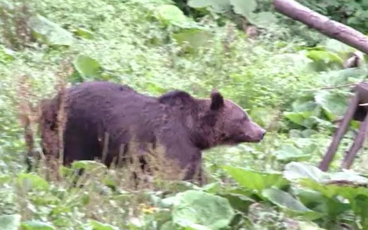 Momente de groaza pentru un satean din Mures, atacat de urs in padure. Cum a reusit barbatul sa se intoarca acasa