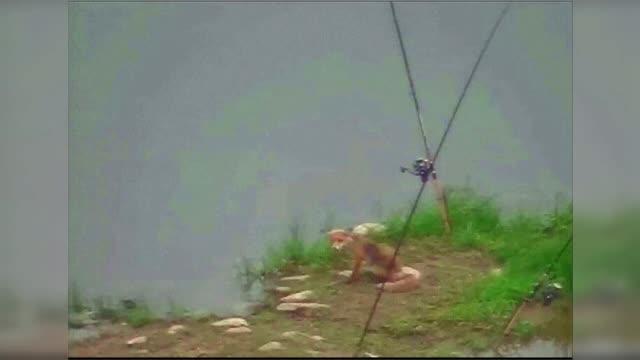 O vulpe a fost surprinsă de camerele VIDEO când fură prada unui pescar