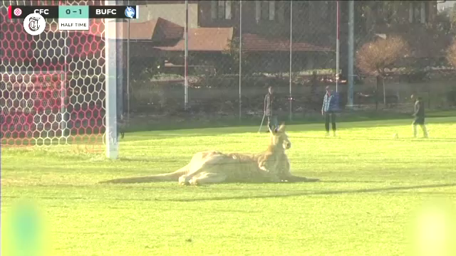 Un cangur a întrerupt un meci de fotbal feminin. A găsit o gaură în gard