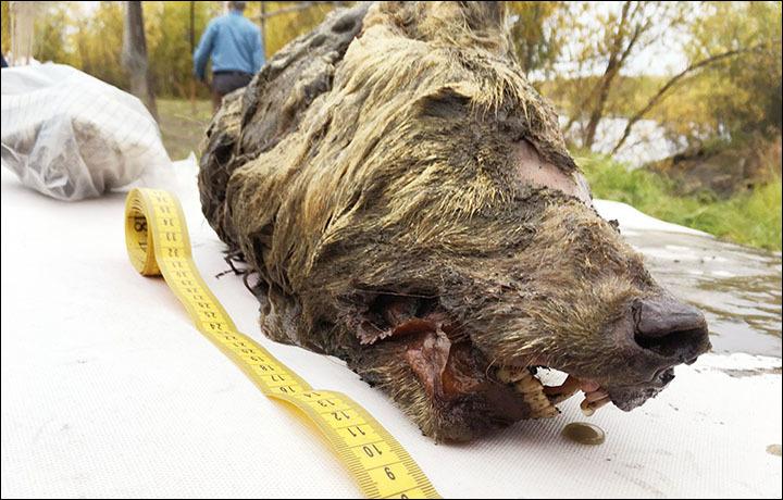 Capul unui lup uriaș, vechi de 40.000 de ani, descoperit intact. Unde a fost găsit