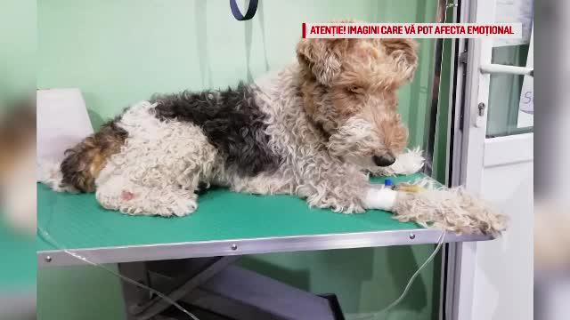 Primele imagini cu cățelul sfâșiat de un Amstaff, după atac. Stăpâna lui e revoltată