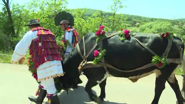 Rusalii 2019. Obicei în Bistrița: fetele care vor să se mărite ating coarnele boului