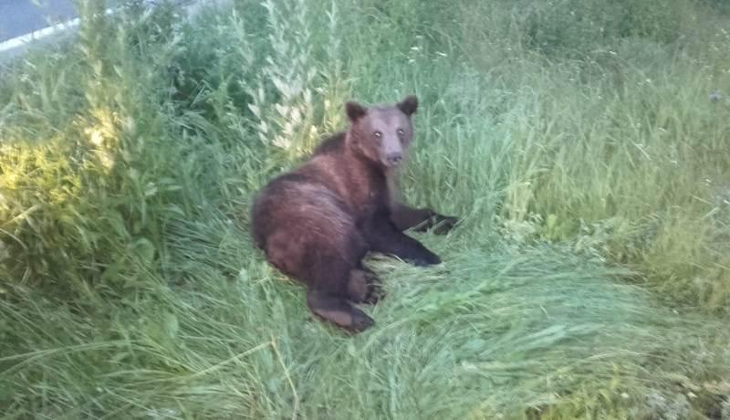 Pui de urs lovit în plin de o maşină pe DN 1, la Brașov. Reacția oamenilor
