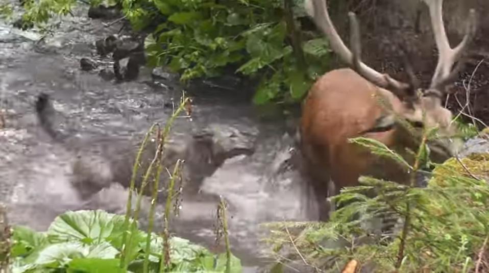 Luptă epică pentru supraviețuire: cerb atacat de lupi în Călimani. VIDEO IMPRESIONANT