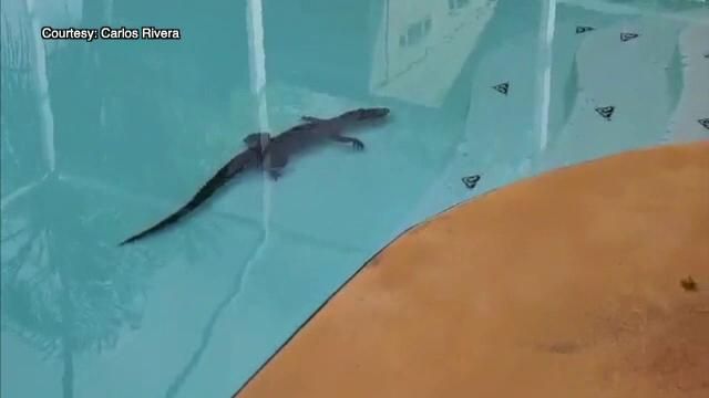 Un aligator a intrat în locuința unei familii din Florida prin uşiţa folosită de câinele casei
