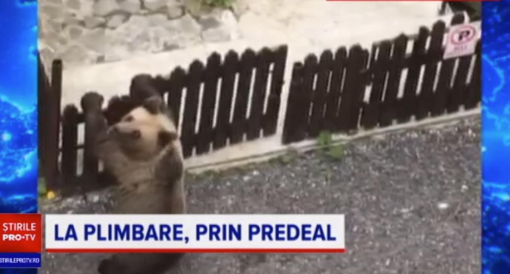 Un urs a fost filmat în timp ce deschidea poarta unei case din Predeal