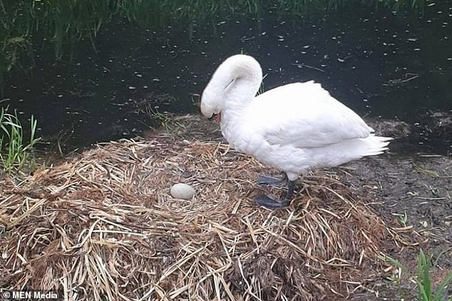O lebădă a murit de tristețe după ce un grup de adolescenți i-a zdrobit ouăle din cuib