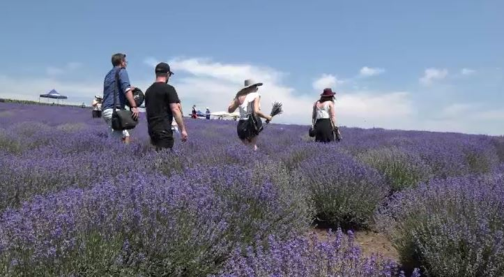 Turiștii se pot bucura de peisaje desprinse din tablouri, în lanurile de lavandă din Mureș