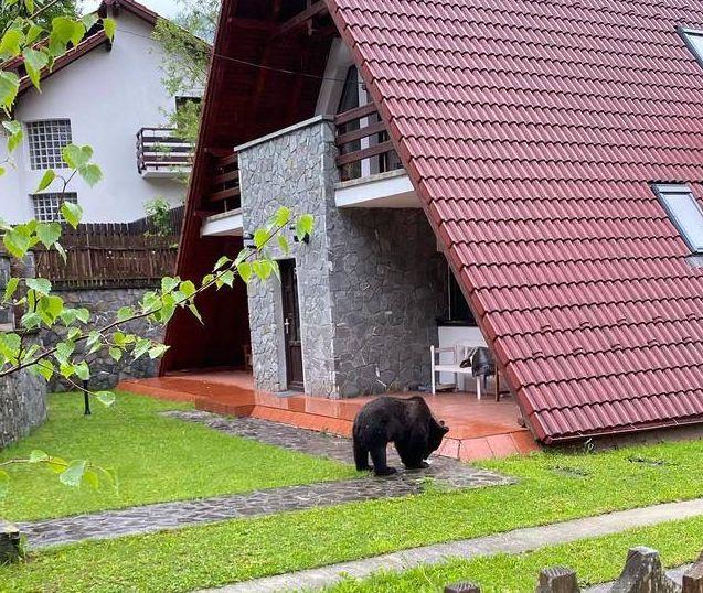 Urs filmat în Sinaia, în curtea unei case. Câinele nu reușește să-l alunge | VIDEO