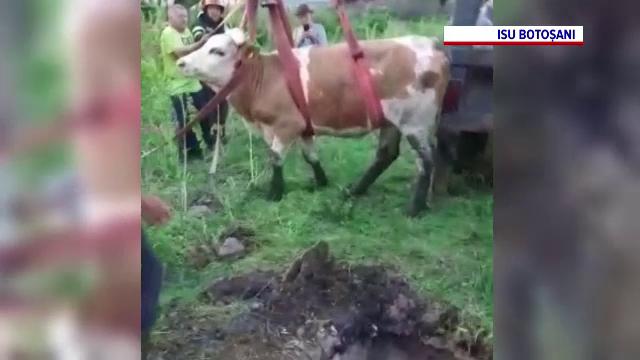 Pompierii din Botoșani au intervenit pentru salvarea unei vaci căzute într-o fosă dezafectată