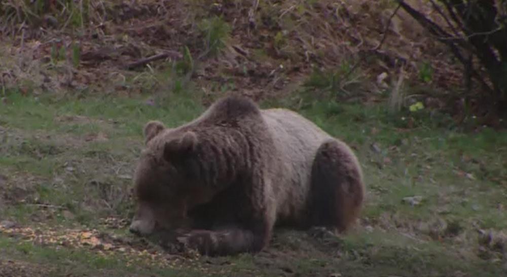 Un urs a terorizat un sat din Dâmbovița. S-a cerut ajutorul autorităților