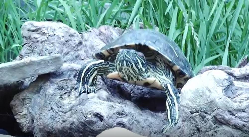 Fenomenul abandonării țestoaselor ia amploare în România. De ce renunță oamenii la ele