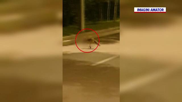 Vulpi filmate pe străzile din București. Una traversa cu o pisică în gură