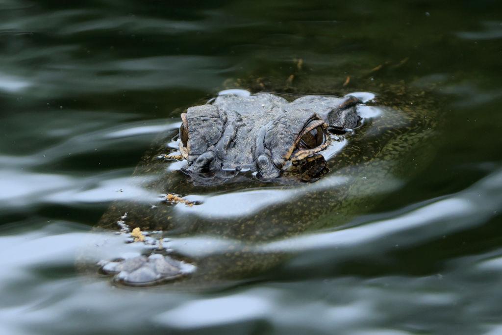 Un aligator umbla nestingherit într-un oficiu poștal din Florida (Foto)